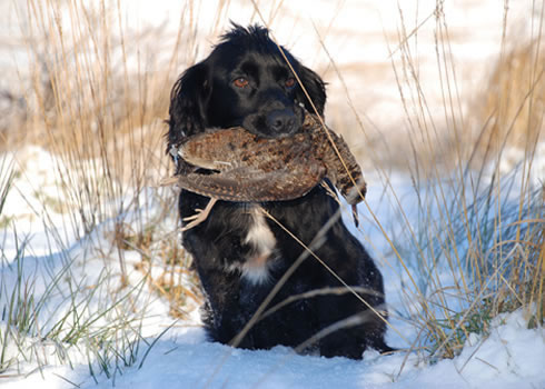 Tawnyhill Gundogs - Holly