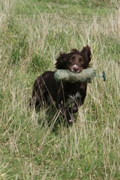 Tawnyhill Gundogs - Dash